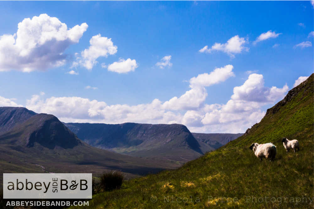 sheep grazing in partry mountains mayo